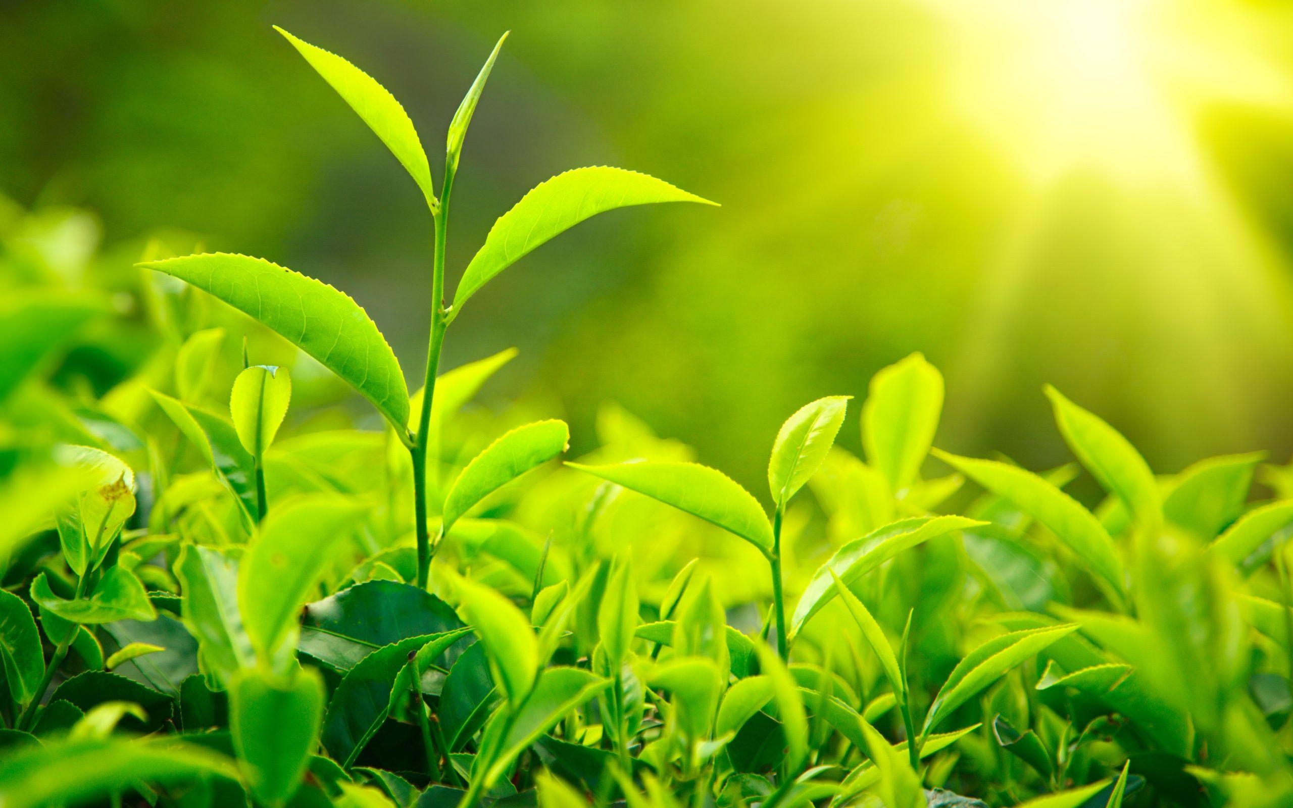 Yeşil Çayın Dinginliğini Yüzünüze Yansıtacak Maske Tarifleri